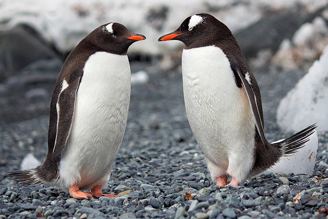 Playful penguins (Pexels)